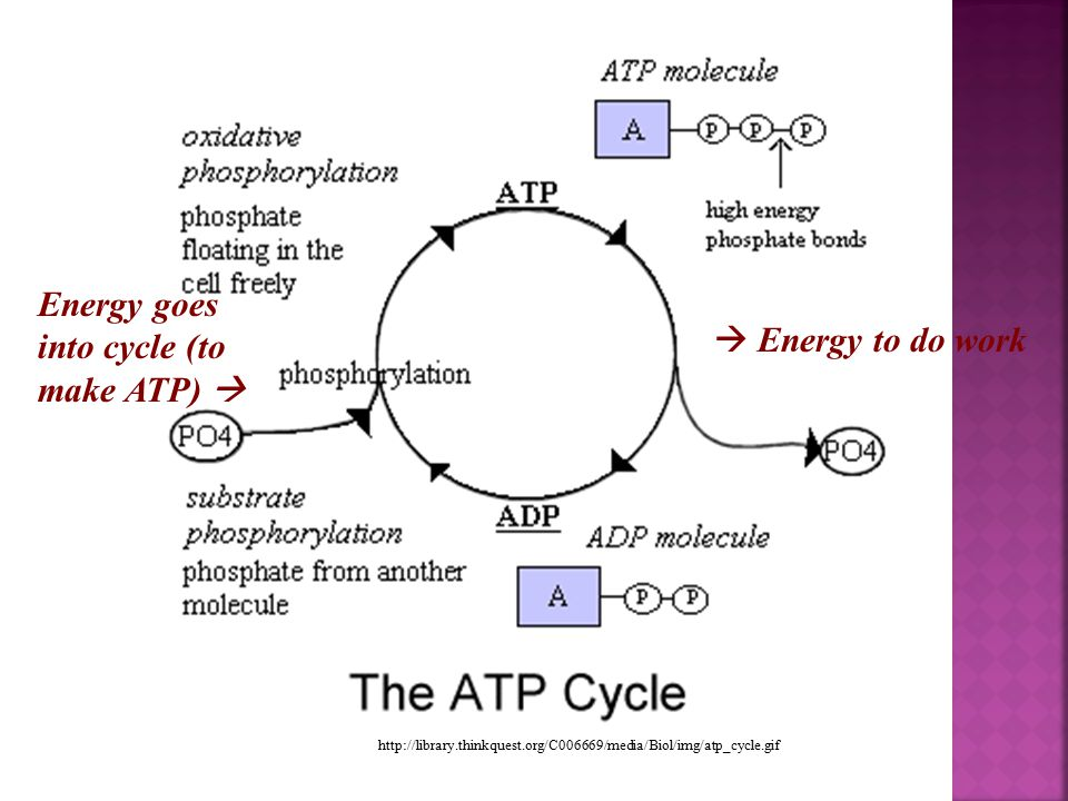 Energy goes into cycle (to make ATP)   Energy to do work