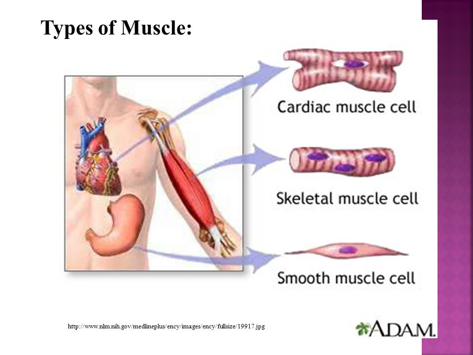 Types of Muscle: