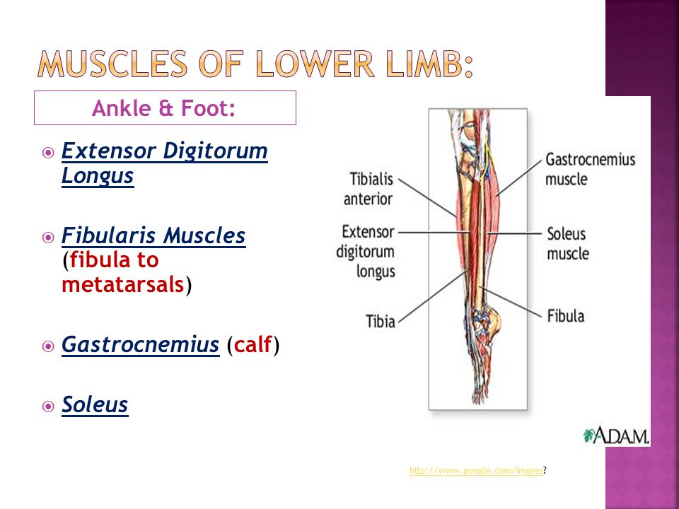 Muscles of lower limb: Ankle & Foot: Extensor Digitorum Longus