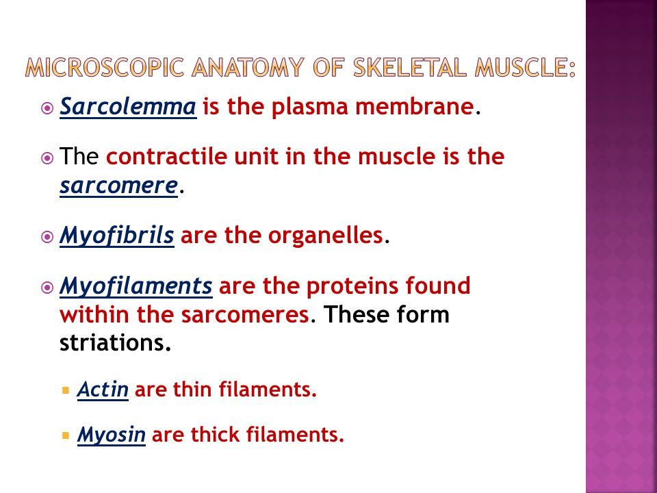 Microscopic anatomy of skeletal muscle: