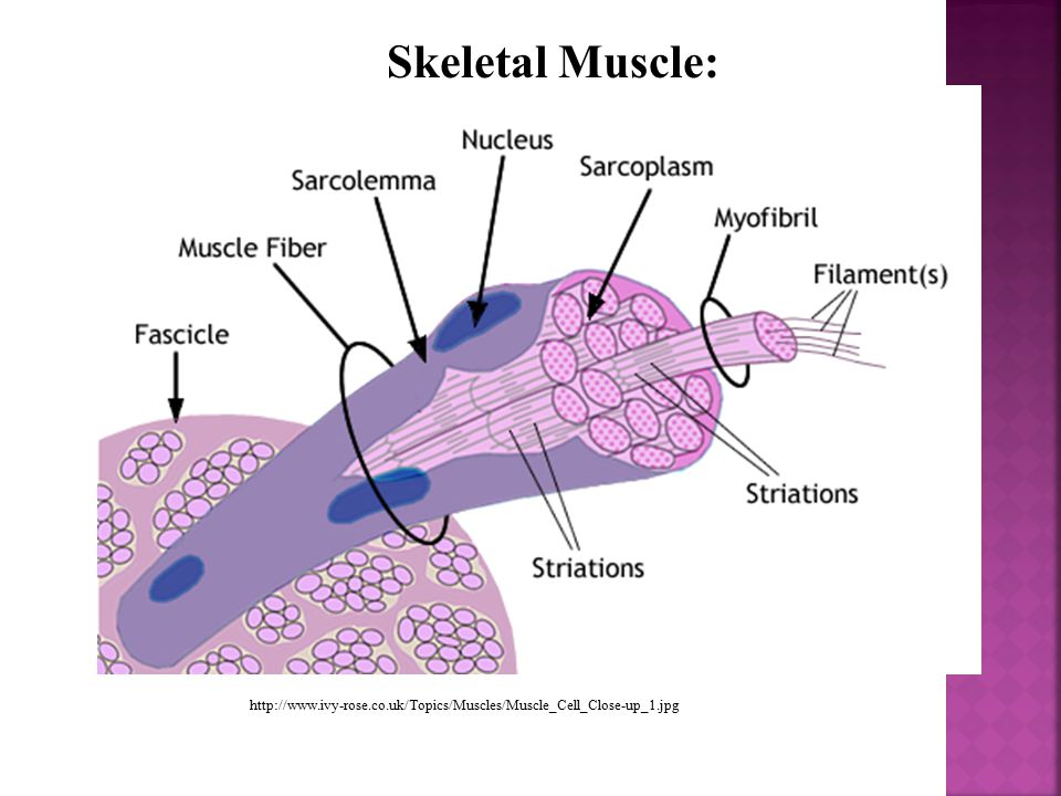 Skeletal Muscle: