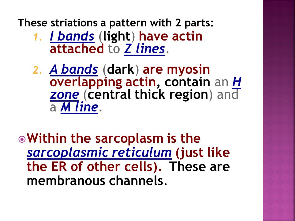 I bands (light) have actin attached to Z lines.