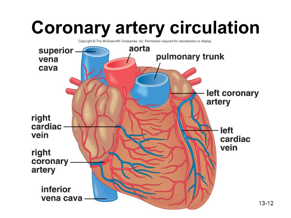 Heart Arteries Diagram Of Muscle Basic Guide Wiring Diagram