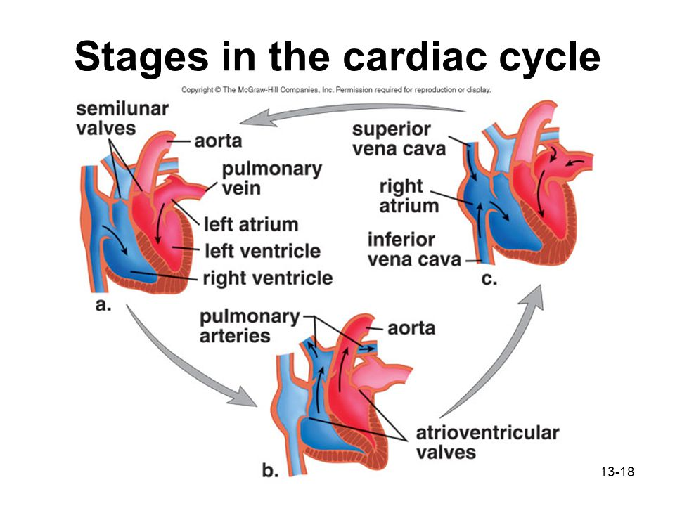 Chapter 13 Cardiovascular System Ppt Download