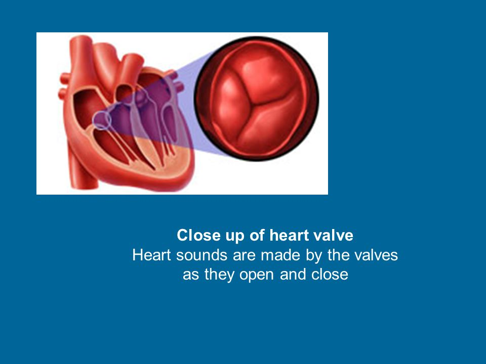 Close up of heart valve Heart sounds are made by the valves as they open and close