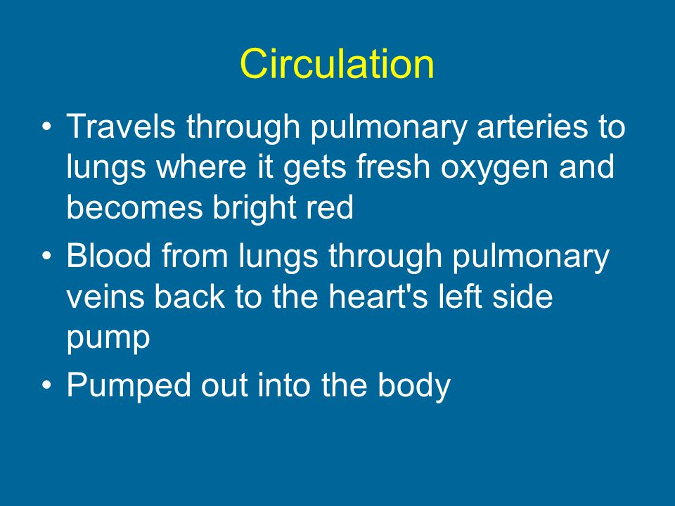 Circulation Travels through pulmonary arteries to lungs where it gets fresh oxygen and becomes bright red.