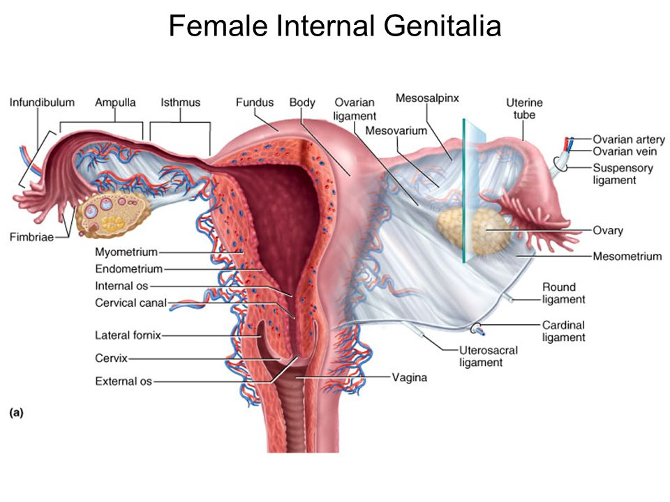 Anatomy Of The Male Reproductive System Ppt Video Online Download