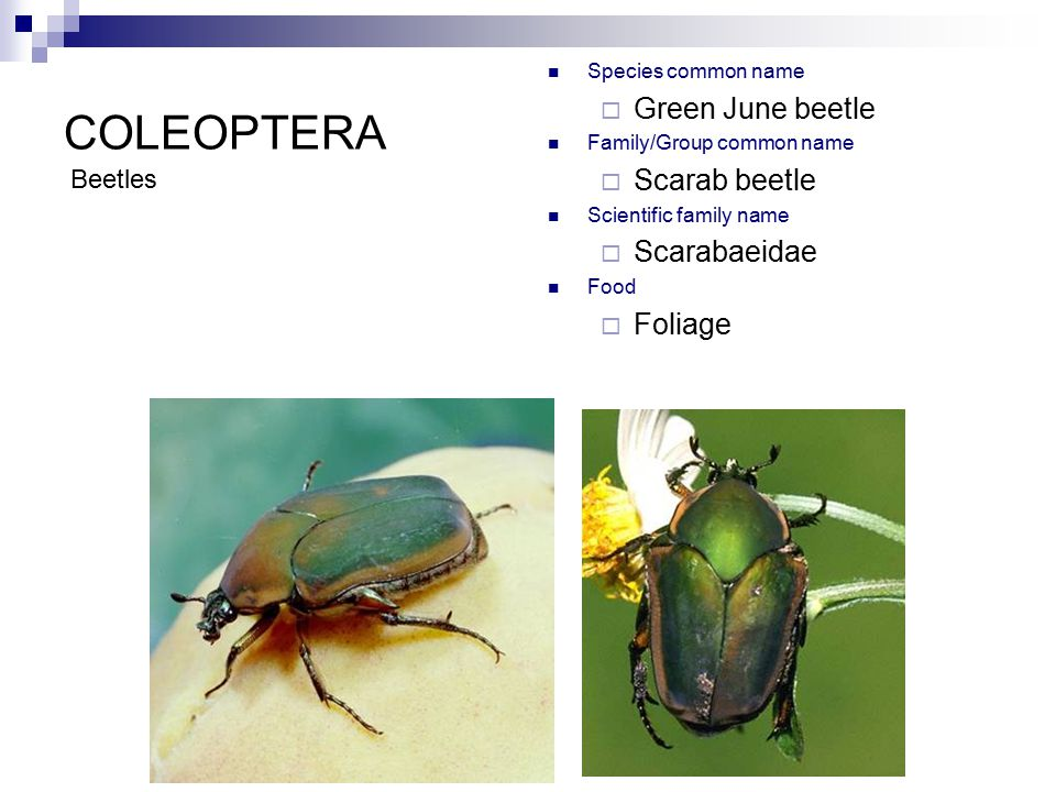 coleoptera ordinal characteristics 1 chewing mouthparts ppt