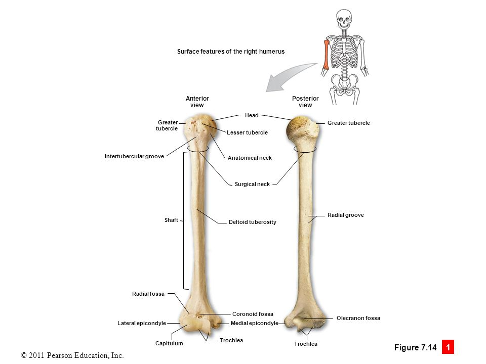 7 The Skeleton. - ppt video online download