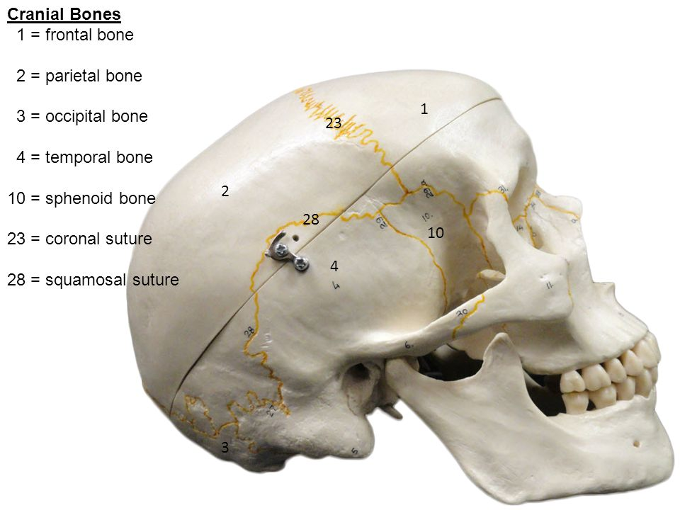 Lab 6, Axial Skeleton Skeletal System Orange = axial skeleton - ppt ...