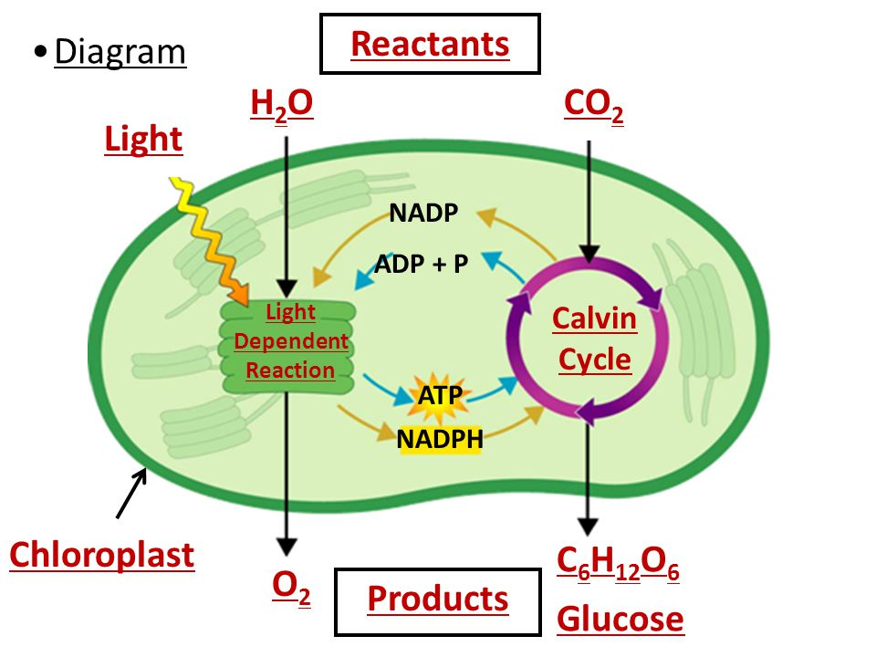 Cycle Chloroplast Diagram Online Schematic Diagram