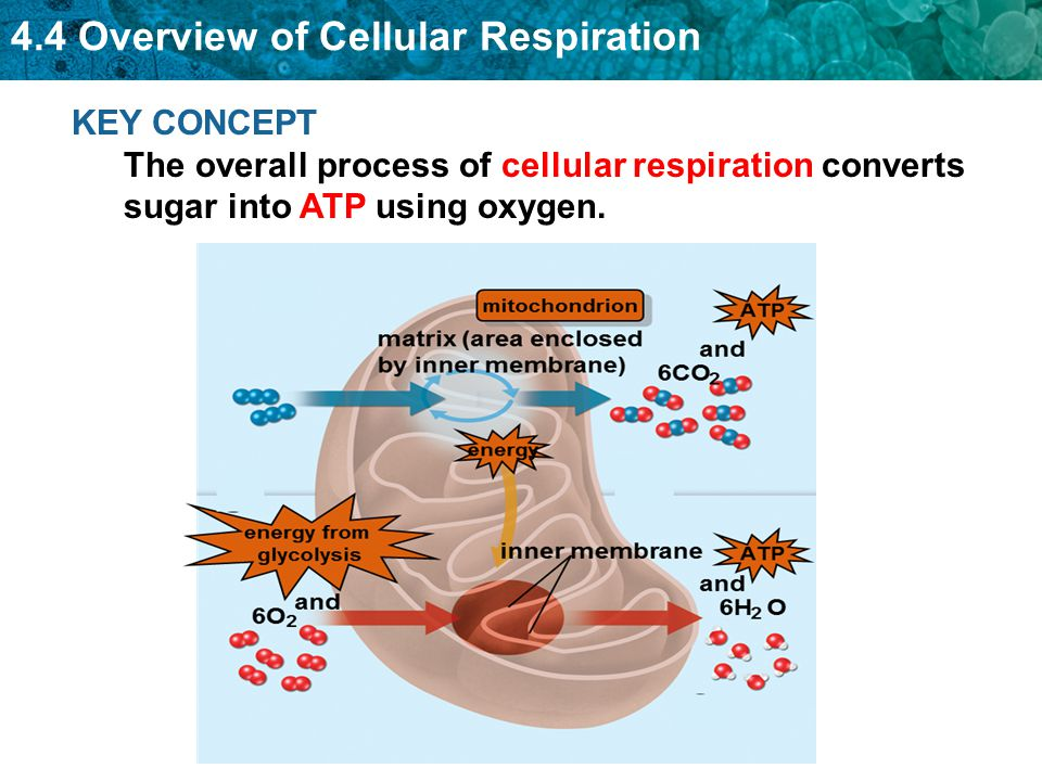Overall process of cellular respiration diagram introduction to 4 4 intro to cellular respiration ppt video online download rh slideplayer com basic diagram of cellular respiration basic diagram of cellular respiration ccuart Choice Image