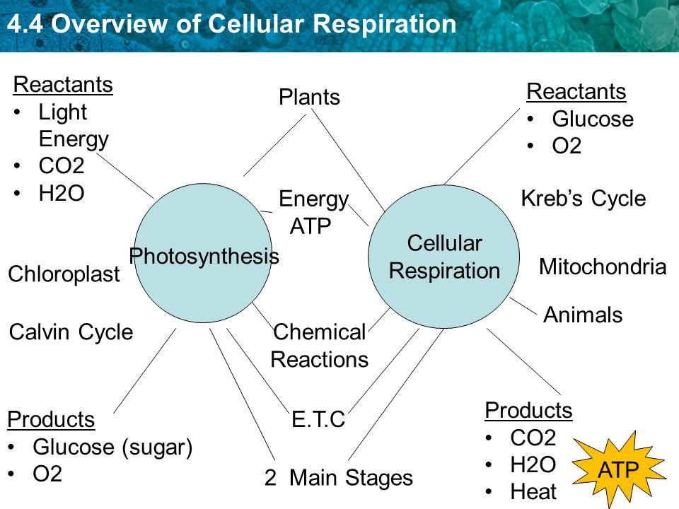 an analysis of chemical reactions in cellular respiration Some chemical reactions that occur in cells require energy the types of chemical reactions called oxidation and reduction lie at the heart of respiration they always occur together - one substance is oxidised as another is reduced.