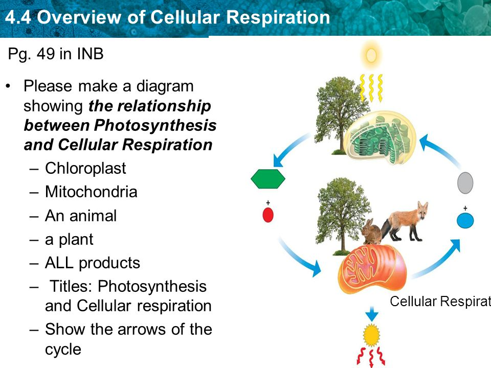 Respiration between relationship and photosynthesis