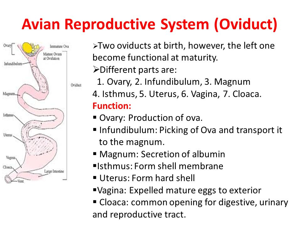 Female Reproductive System Of Mammals Ppt Video Online Download