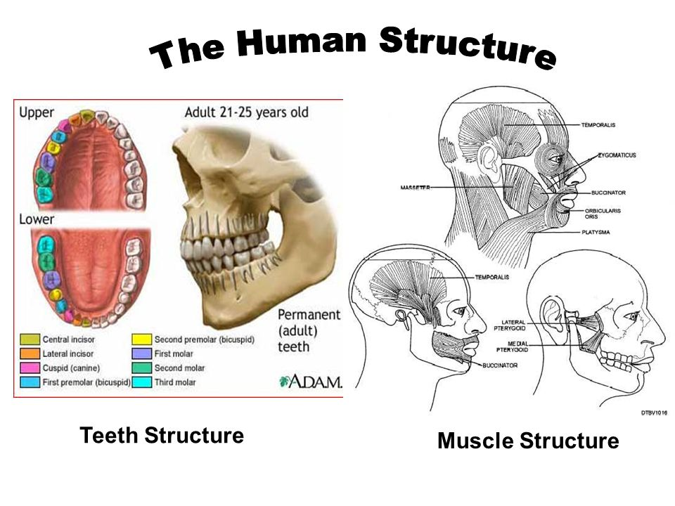 Diversity In Dentition Ppt Download