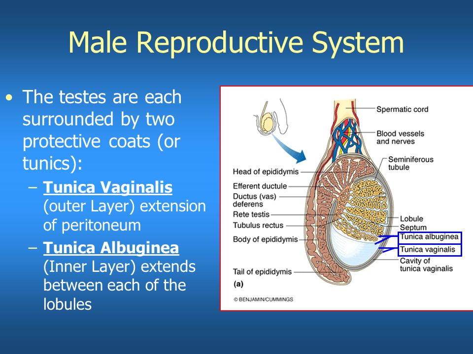 General Anatomy Of The Male Reproductive System Ppt Video Online