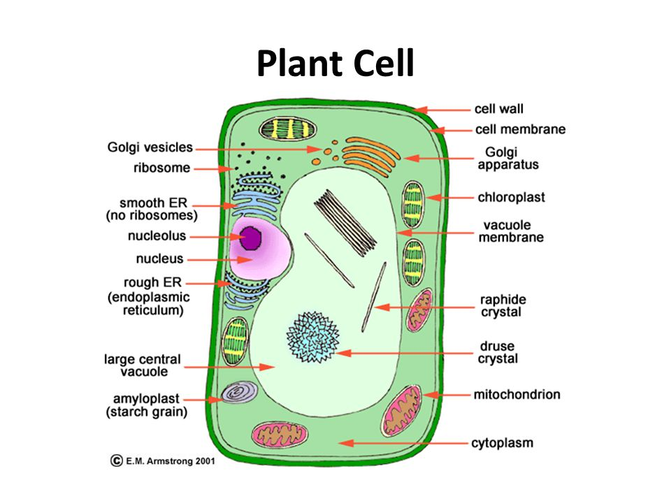 Plant cell diagram with cytoskeleton block and schematic diagrams plant cell diagram with cytoskeleton images gallery ccuart Choice Image