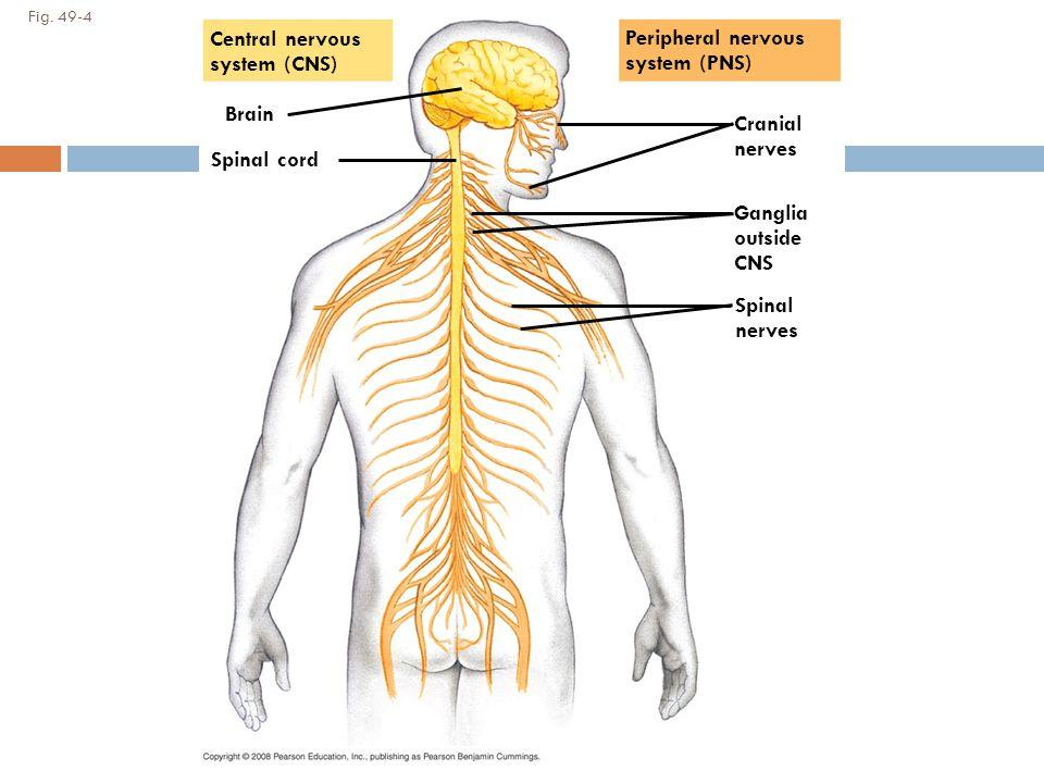 Animal Nervous System Chapter Ppt Download