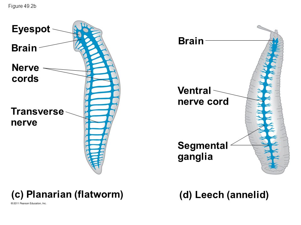 Contemporary Anatomy Of Planaria Image Collection Anatomy And