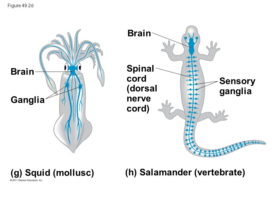 Squids The Nervous System Diagram - Wiring Library •