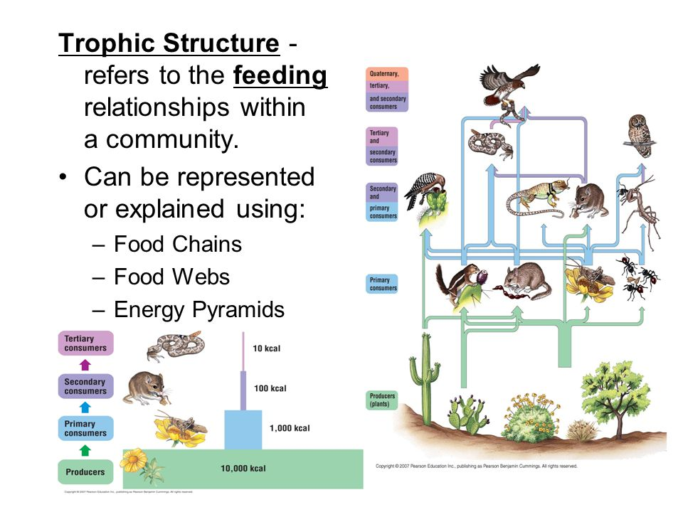 Food Webs Energy Pyramids Ppt Video Online Download
