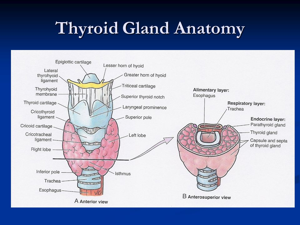 Modern Parathyroid Gland Anatomy And Physiology Adornment - Anatomy ...
