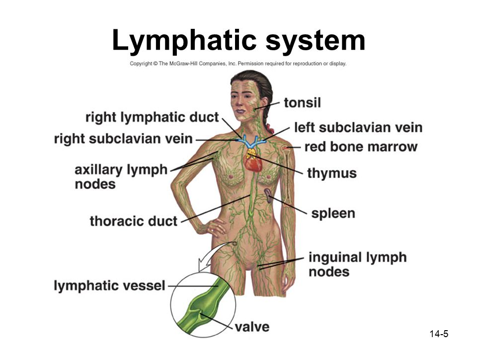 Chapter 14: Lymphatic and Immune Systems - ppt video online download