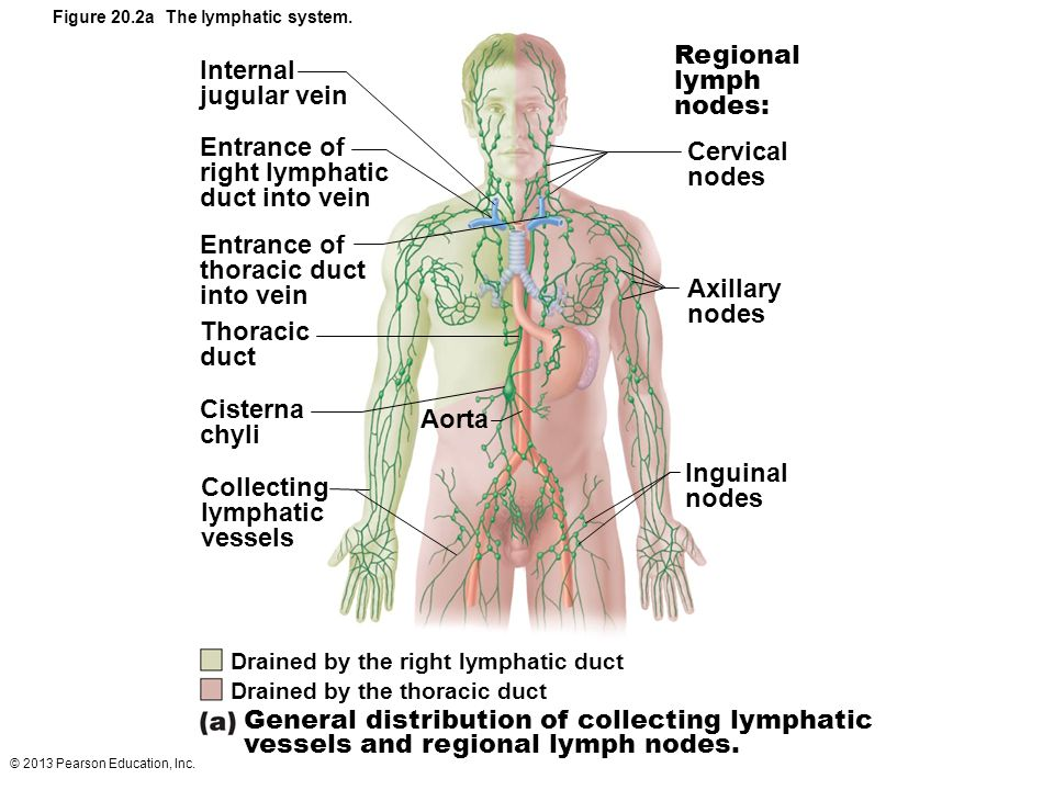 20 The Lymphatic System and Lymphoid Organs and Tissues. - ppt video ...