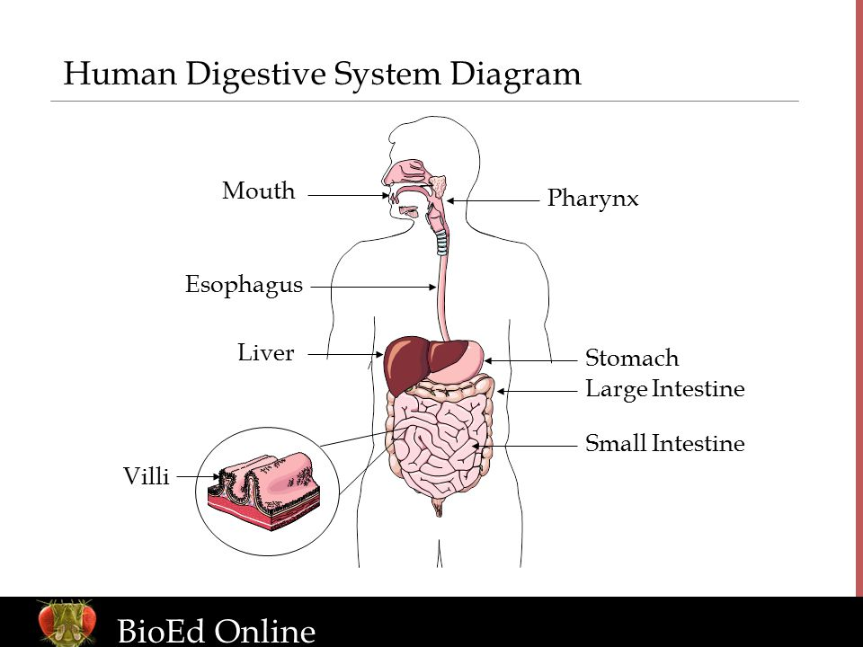 The human organism introduction to human body systems ppt download human digestive system diagram ccuart Image collections