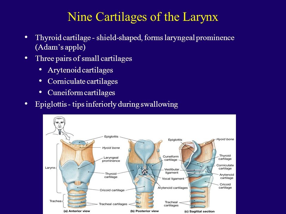 Nine Cartilages of the Larynx