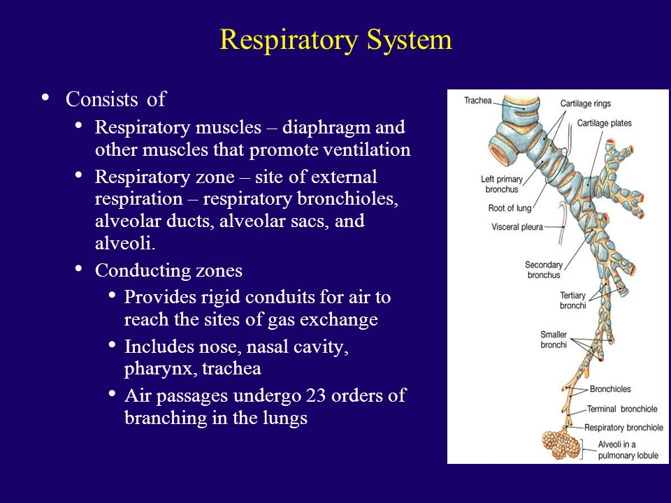 Respiratory System Consists of