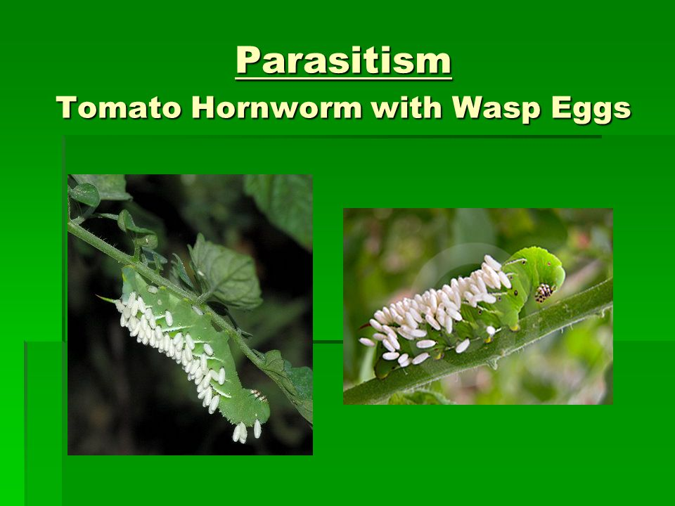 parasites wasp and caterpillar symbiotic relationship