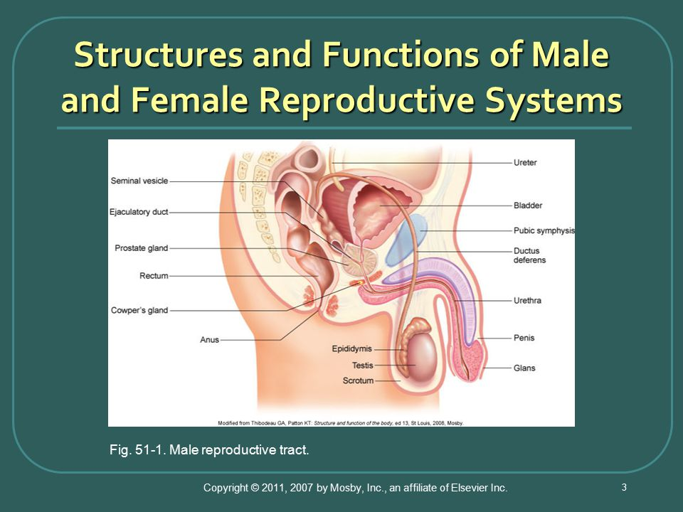the male and female reproductive systems The male reproductive system consists of a set of internal and external organs depending on their location what follows is a detailed classification of both parts contrary to what happens in females, the urethra of males is part of both the excretory and the reproductive systems, as it is used for.