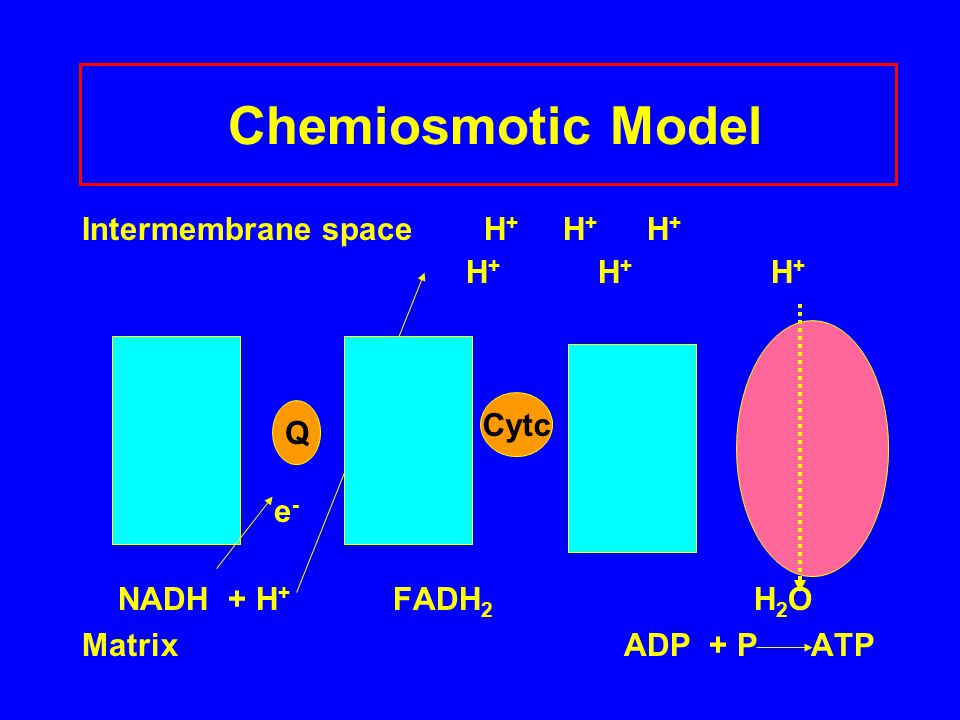 Chemiosmotic Model Intermembrane space H+ H+ H+ H+ H+ H+ e-
