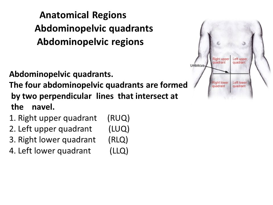 Anatomical Regions Abdominopelvic quadrants Abdominopelvic regions
