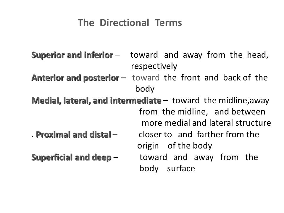 The Directional Terms Superior and inferior – toward and away from the head, respectively.