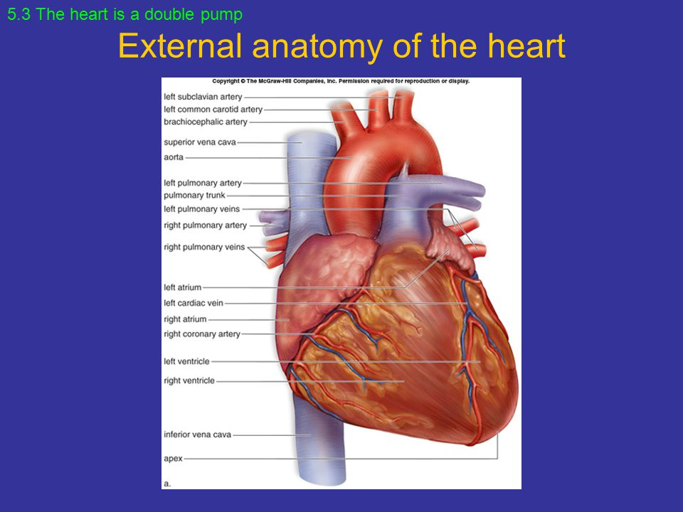 Chapter 5 Cardiovascular System Heart And Blood Vessels Ppt
