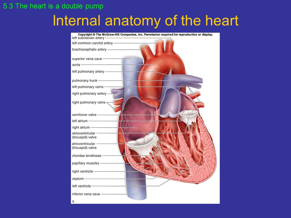 Chapter 5 Cardiovascular System: Heart and Blood Vessels. - ppt ...