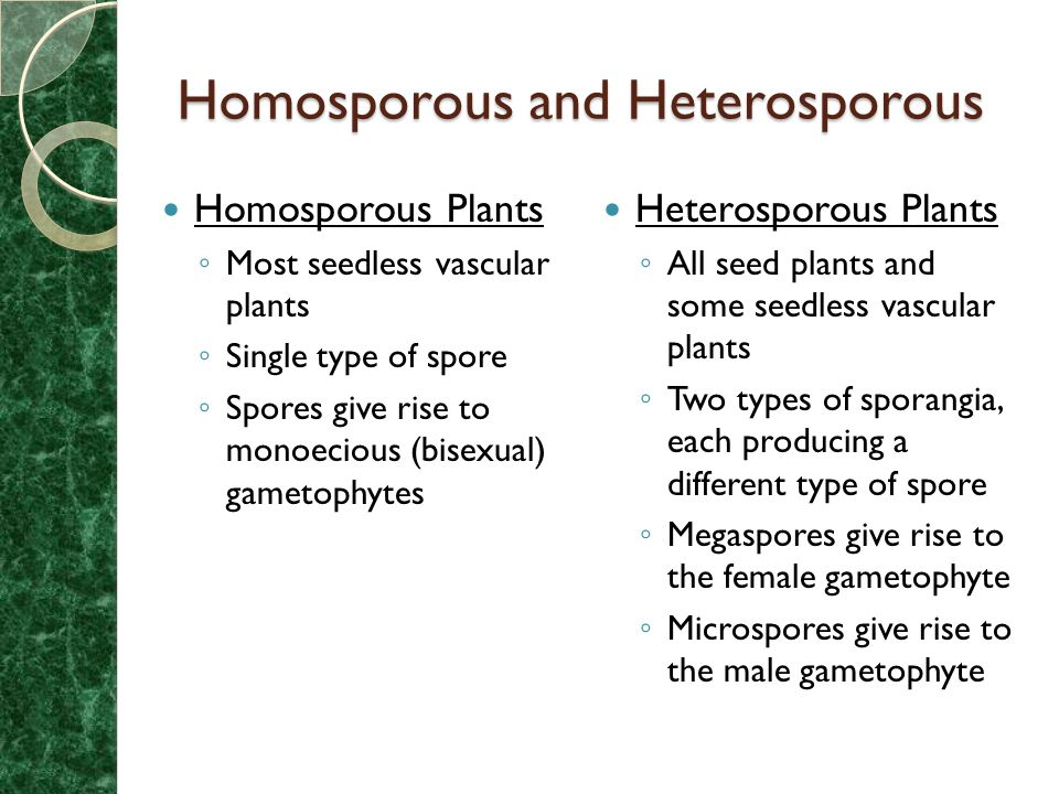 are conifers homosporous or heterosporous