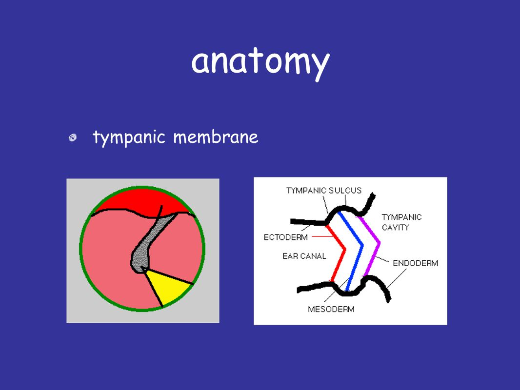Outer Ear Anatomy Physiology Disorders Ppt Video Online Download