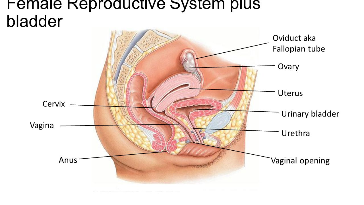 Pdf accidental introduction of a contraceptive vaginal ring into the urinary bladder