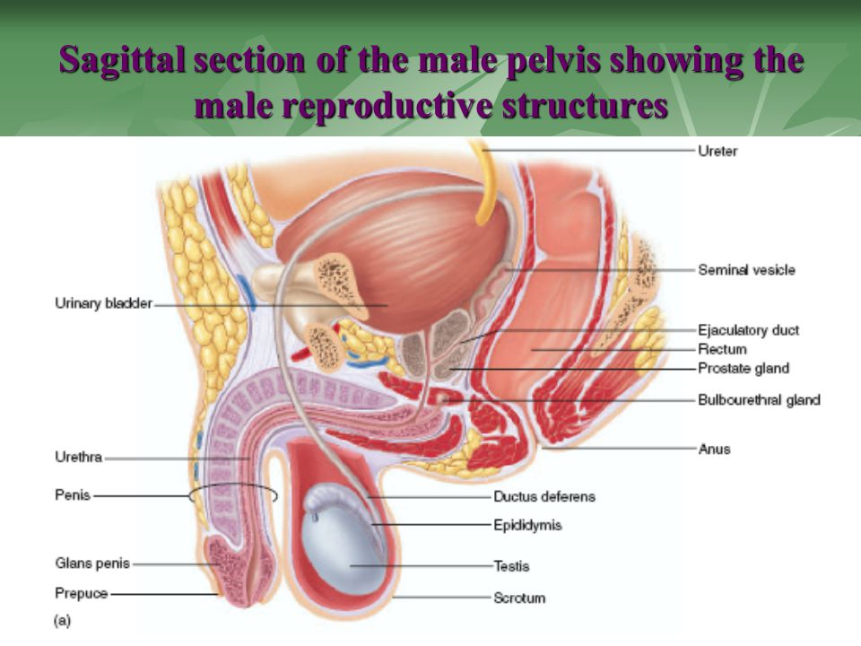 Function Of Male And Female Reproductive System Ppt Download