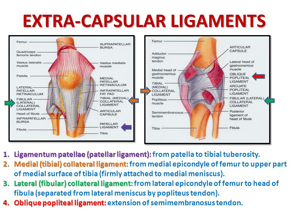 KNEE JOINT * ANKLE JOINT * HIP JOINT - ppt download