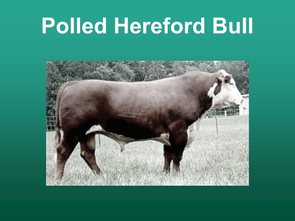 Breeds of Beef Cattle Developed by: - ppt video online download