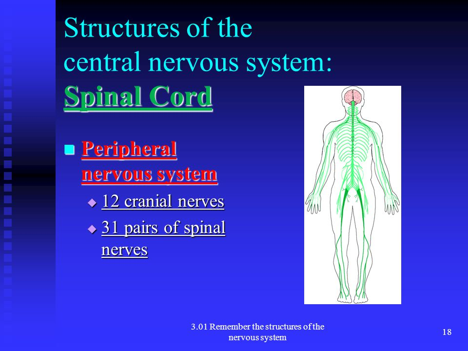 Structures of the central nervous system: Spinal Cord