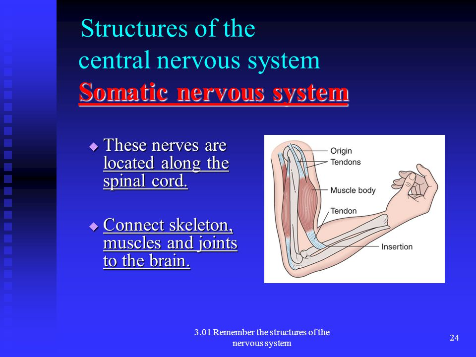 Structures of the central nervous system Somatic nervous system
