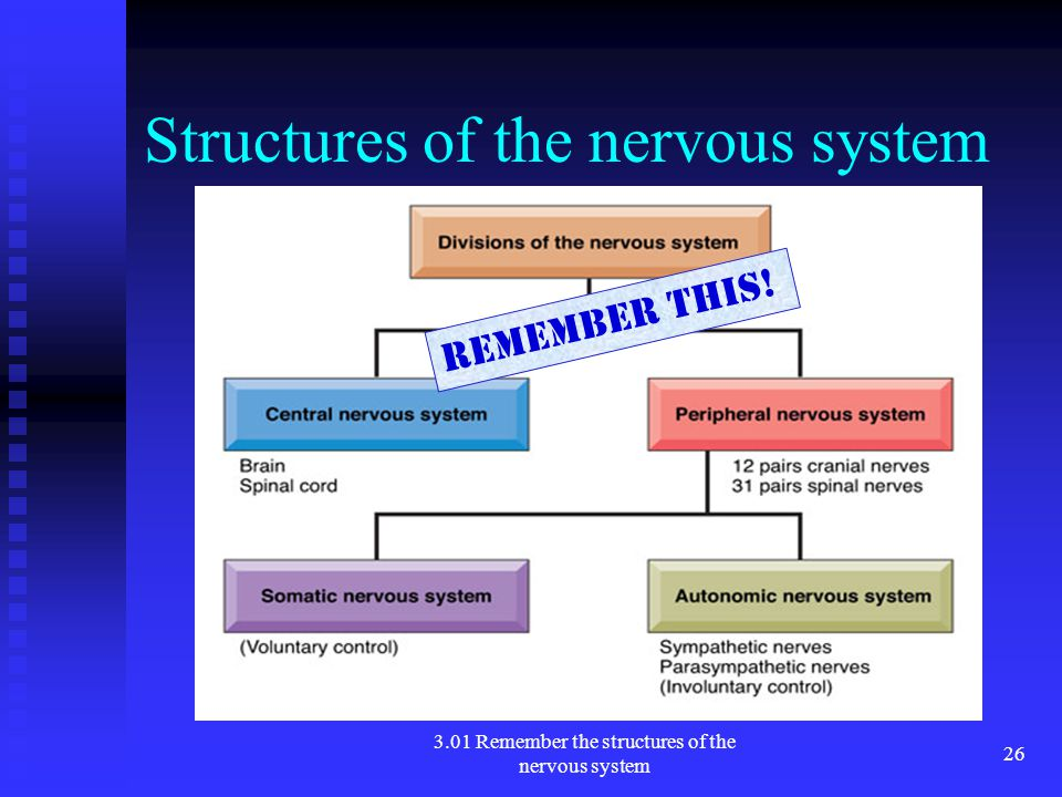 Structures of the nervous system