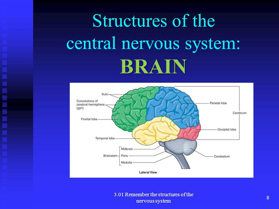 Structures of the central nervous system: BRAIN