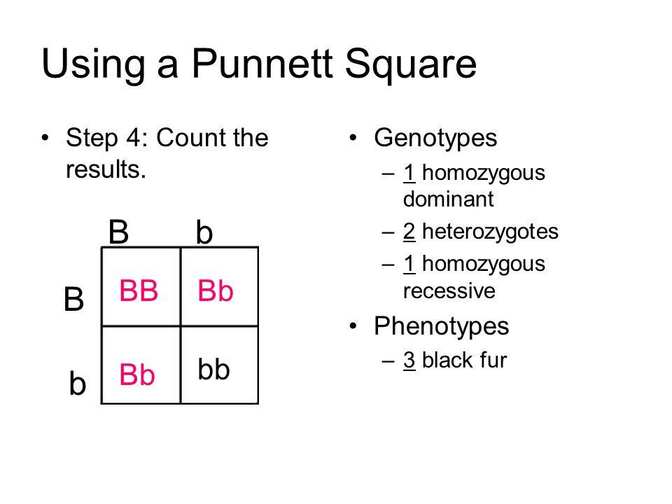 Using A Punnett Square B BB Bb Step 4 Count